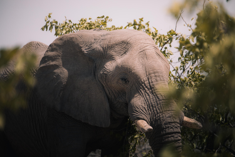 elephant namibie